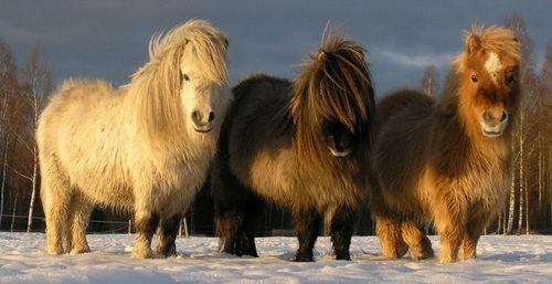 Три шетландских пони
